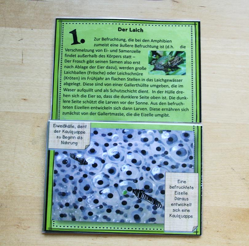 Kreuzklappkarte Metamorphose Frosch - Materialtanten