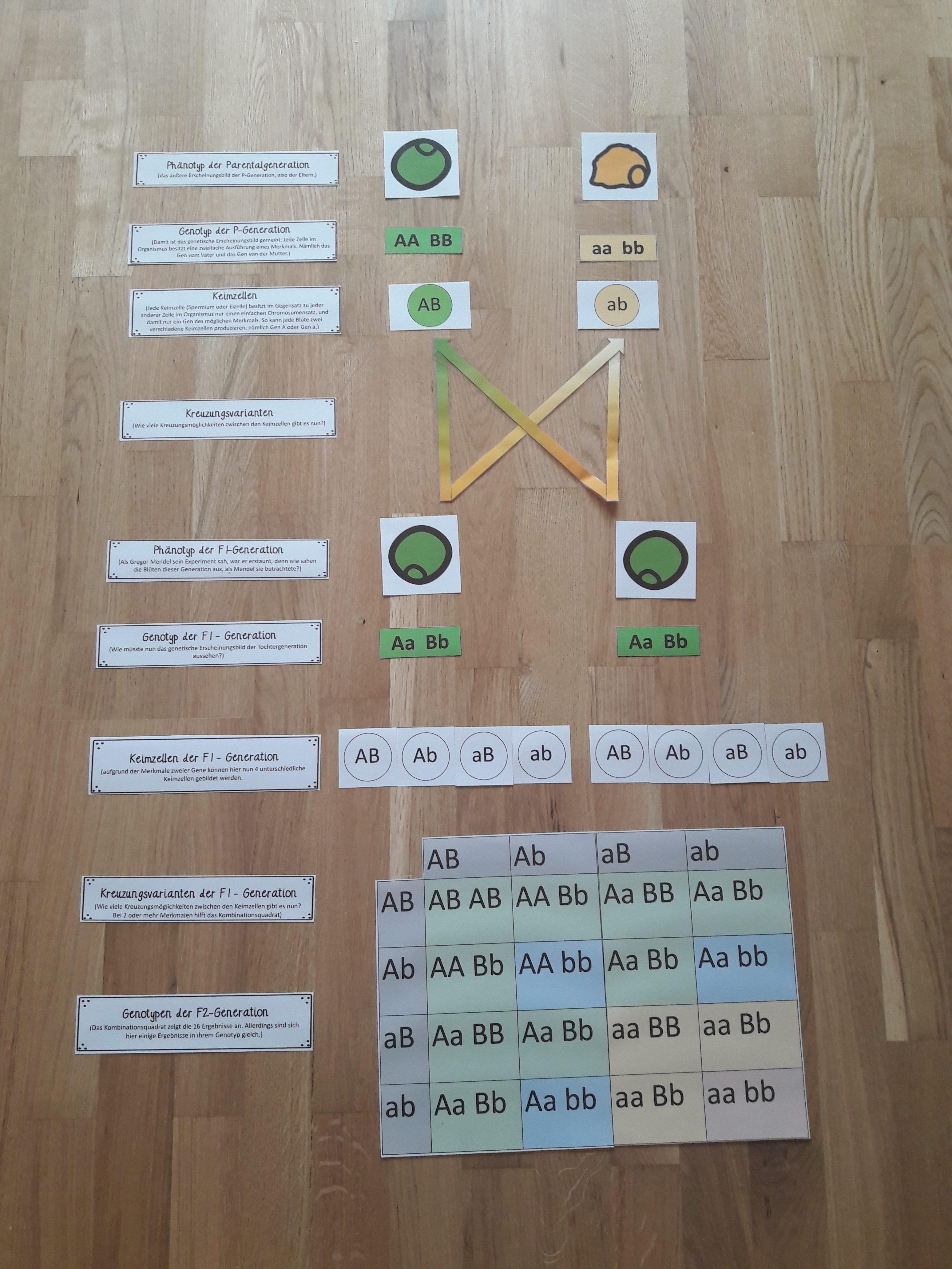 Genetik: Die 2. + 3. Mendelsche Regel - Materialtanten