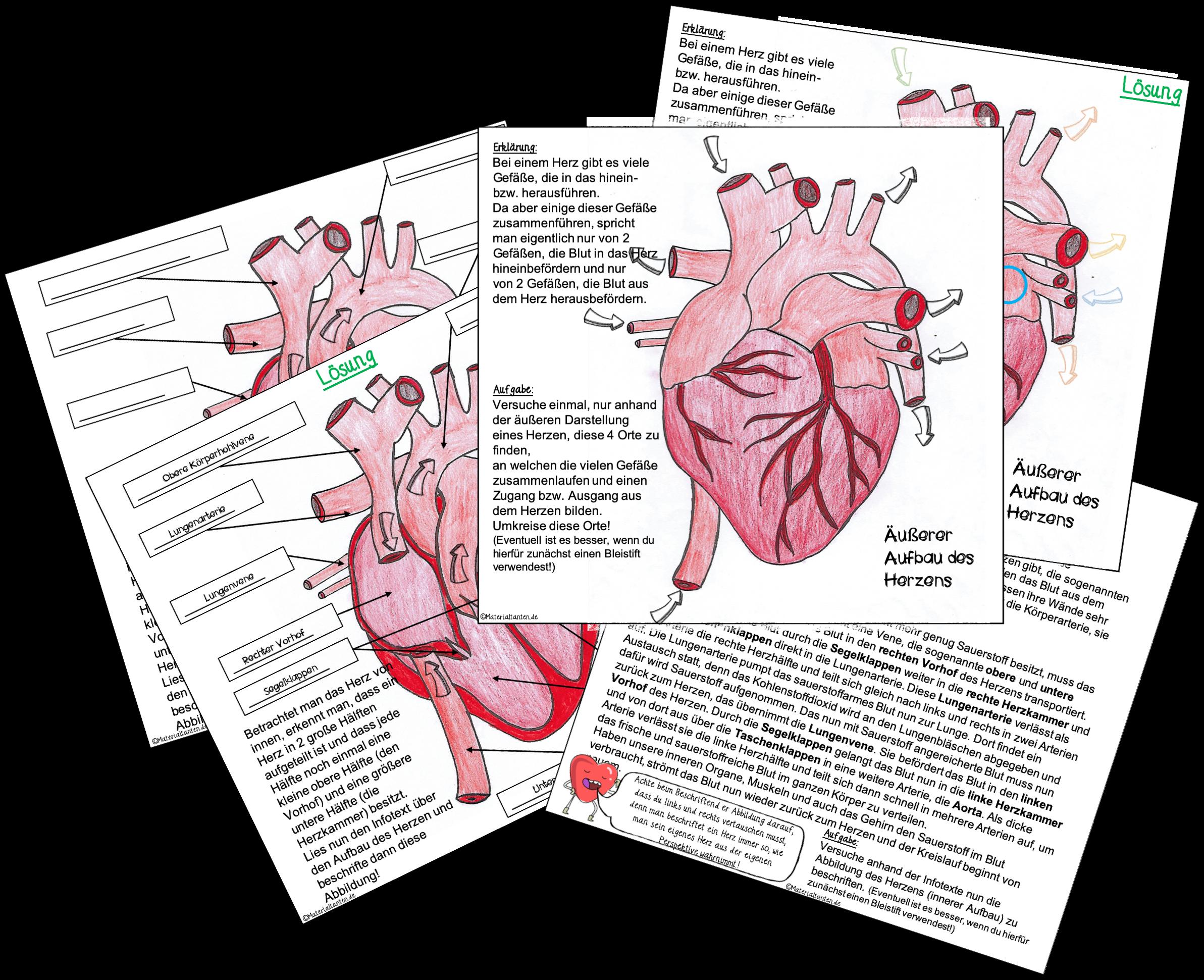 Herzaufbau und der Weg des Blutes durch das Herz